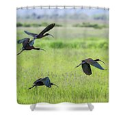 White-faced Ibis Rising, No. 3 Shower Curtain