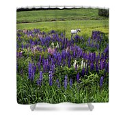 White Horse In A Lupine Field Shower Curtain
