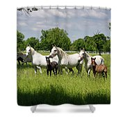 White Lipizzaner Mares Horse Breed With Dark Foals Grazing In A  Shower Curtain