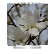 White Magnolia Blooming In Spring Shower Curtain