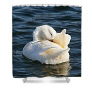 White Pekin Duck In Blue Water Preening Shower Curtain