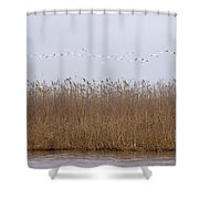 White Pelicans Fly Over Reed Bed On Lake  Shower Curtain