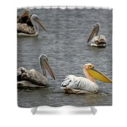 White Pelicans On Lake  Shower Curtain