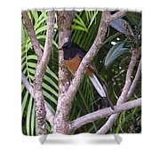 White Rumped Shama Shower Curtain