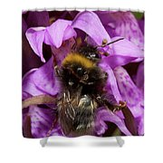 White-tailed Bumblebee On Southern Marsh Orchid Shower Curtain