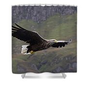 White-tailed Eagle Approaches Shower Curtain