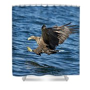 White-tailed Eagle Taking Fish Shower Curtain