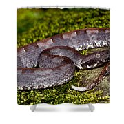 White-tailed Hognose Viper Shower Curtain