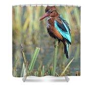 White-throated Kingfisher 13 Shower Curtain
