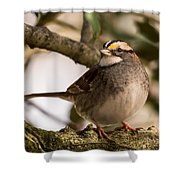 White Throated Sparrow On Branch New Jersey Shower Curtain