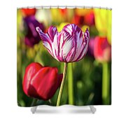 White Tulip Flower With Pink Stripes Shower Curtain