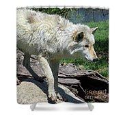White Wolf 1 Shower Curtain