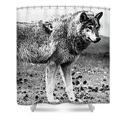 White Wolf Z Shower Curtain