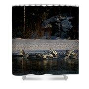 Whooper Swan Nr 13 Shower Curtain