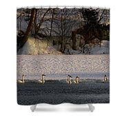 Whooper Swan Nr 14 Shower Curtain