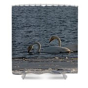 Whooper Swan Nr 2 Shower Curtain