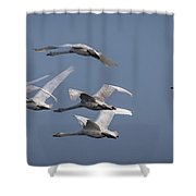 Whooper Swans In Flight Shower Curtain