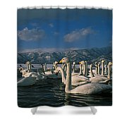 Whooper Swans In Winter Shower Curtain