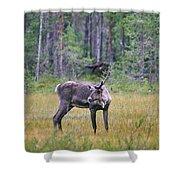 Wild Finnish Forest Reindeer 24 Shower Curtain