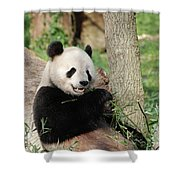 Wild Panda Bear Eating Bamboo Shoots While Leaning Against A Tre Shower Curtain