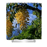 Wilhelmina Tenney Rainbow Shower Tree Makawao Maui Flowering Trees Of Hawaii Shower Curtain