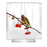 Winter Birds - Waxwing  Shower Curtain