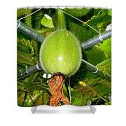 Winter Melon In Garden 1 Shower Curtain