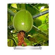 Winter Melon In Garden 2 Shower Curtain
