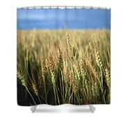 Winter Wheat In Linn, Kansas Shower Curtain