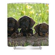 Wire-haired Dachshund Puppies Shower Curtain