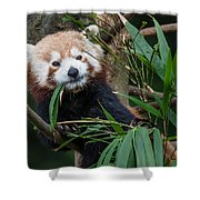 Wizened Red Panda Shower Curtain