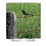 Willie Wagtail Shower Curtain