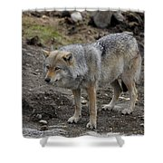 Wolf 1 Norway Shower Curtain