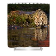 Wolf In Pond Shower Curtain
