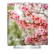 Wonderful Pink Cherry Blossoms At Floriade Shower Curtain
