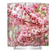 Wonderfully Delicate Pink Cherry Blossoms At Canberra's Floriade Shower Curtain