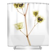 X-ray Of The Velvet Leaf Seed Pods Shower Curtain