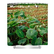 Yams Farm In Azores Shower Curtain