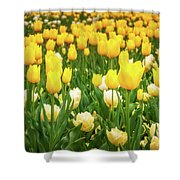 Yellow And White Tulips In Canberra In Spring Shower Curtain