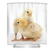 Yellow Bantam Chicks Shower Curtain