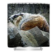 Yellow Bellied Marmot - Glacier National Park Shower Curtain