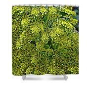 Yellow Blossoms Of Green Aeonium In Huntington Desert Garden In San Marino-california  Shower Curtain