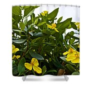 Yellow Poppy Bush Flowers At Pilgrim Place In Claremont-california Shower Curtain