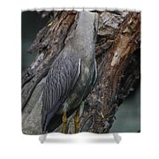 Yellow Crested Night Heron On Log Shower Curtain