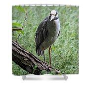 Yellow-crowned Night Heron 2 Shower Curtain
