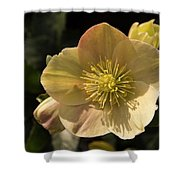 Yellow Helleborus Shower Curtain