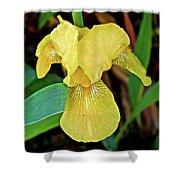 Yellow Iris At Pilgrim Place In Claremont-california Shower Curtain
