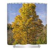 Yellow Maple Tree 1 Shower Curtain