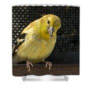 Lesser Female Goldfinch Having Lunch Shower Curtain