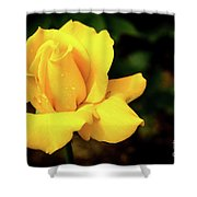Yellow Rose - After The Rain Shower Curtain